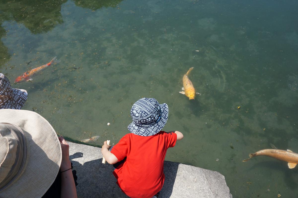 岡山 後楽園 鯉